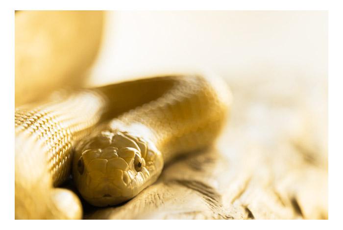 金色の蛇の夢と夢占いでの意味