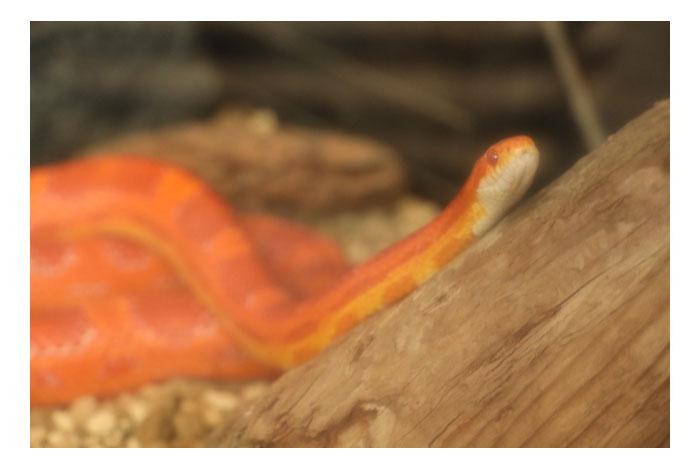 オレンジの蛇の夢と夢占いでの意味